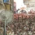 """Phân biệt Gà ta và gà thải Trung Quốc: """"Có muốn thông thái cũng chịu"""""""
