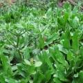Phương pháp chữa hôi miệng từ cây thuốc nam