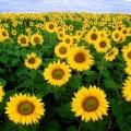 """Cận cảnh cánh đồng hoa hướng dương đang """"làm mưa làm gió"""" trong giới trẻ"""