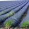 Sải bước trên cánh đồng hoa oải hương ở Pháp