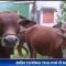 Chuyện lạ ở Hà Tĩnh: Dắt bò ra đường phải nộp 'phí'