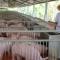 Việt Nam phải nhập khẩu cả cái máng lợn!