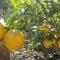Đà Lạt: Chanh khổng lồ xuất hàng, trái nặng tới 1kg,