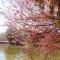 Dạo quanh hồ Xuân Hương ngắm mai anh đào khoe sắc rực rỡ