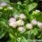 Hiệu quả bất ngờ với cách điều trị viêm mũi dị ứng bằng hoa ngũ sắc
