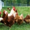 """Xử lý vụ lãnh đạo xã """"ăn"""" gà của nông dân nghèo"""