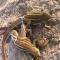 Săn loài 'rồng đất' mê mẩn tiếng huýt gió bán vài trăm nghìn/kg