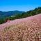 Mùa hoa tam giác mạch du lịch Hà Giang làm nao lòng du khách