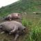 Hà Giang: Bị sét đánh, 19 con trâu chết tại chỗ