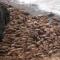 ảnh trong ngày: hàng ngàn con hải mã đang mắc kẹt tại bờ biển Mỹ