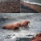 Hàng chục ngàn con hải mã ồ ạt đổ bộ bãi biển Alaska