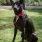 Chó Phú Quốc sang trời Âu với giá 340 triệu đồng mỗi con