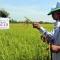 Mất mùa do sâu bệnh ở Thái Bình: VTV nói có, dân địa phương nói với báo Nông nghiệp là không