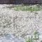 Cá chết hàng loạt tại hồ nước lớn nhất thành phố Hải Dương