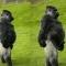 Khỉ đột đi bằng 2 và học dáng đứng bến Tre của Việt Nam