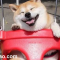 Shiba Inu - chú chó hạnh phúc nhất Thế giới