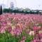 Thung lũng hoa Hồ Tây miễn phí vé vào cửa chụp ảnh và ngắm hoa