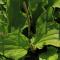 Loại lá mọc hoang đầy ở VN lại là bài thuốc cai thuốc lá nổi tiếng của Nga