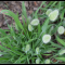 Hạt giống hoa cỏ đuôi thỏ siêu dễ thương