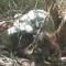 Thêm một bò tót chết trong khu bảo tồn ở Đồng Nai
