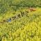 Sững sờ trước cánh đồng 'hoa cưỡng bức' vàng rực ở TQ