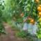 Vườn cà chua được trồng 100% từ sữa và trứng gà mật mía