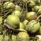 Xuất khẩu nước dừa, tiềm năng không nhỏ: Betrimex lãnh ấn tiên phong