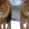 Chẳng riêng gì con người, sư tử ngày nay cũng bắt đầu chuyển giới