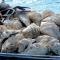Khoét đá Trường Sa : Bỏ bắt cá để vớt... vỏ sò có trong sách đỏ