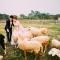 cánh đồng hoa 6 hecta với bầy cừu xinh xắn, ở Hà Nội cũng có rồi đấy!
