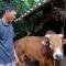 Gặp lại 'con bò vô vọng' trong lũ dữ ở xã Văn Hóa: Em đã sống!