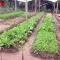 an tâm ăn rau hữu cơ xịn chuẩn Nhật Bản được trồng bởi  nông dân Bến Tre