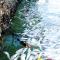 Cá chết trắng tại một vùng biển Khánh Hòa