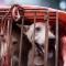 Triều Tiên dự định xuất khẩu thịt chó ăn liền
