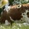 Sự thật gây sốc phía sau hình ảnh những chú bò với lỗ tròn bên hông