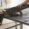 PETA công bố clip lột da cá sấu còn đang sống tại VN để phục vụ thời trang