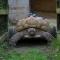 Anh quốc:  Rùa bị liệt vì giao phối quá độ được lắp bánh xe -