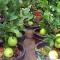 Bỏ trăm nghìn mua ổi trồng trong chậu cho nhiều trái chơi Tết