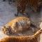 Trung Quốc: Hổ Siberi béo phì sau khi ăn Tết
