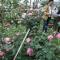 Lễ hội Hoa Hồng Bulgaria: Người xem thất vọng vì toàn hoa giả