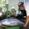 Cá ngừ sao mãi bấp bênh : công nghệ bảo quản cũ, sản lượng cao nhưng ít lãi