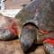 Cụ rùa trăm tuổi bị thương dạt vào bờ biển Nam Định