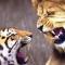 Clip 10 trận hổ đại chiến sư tử giành ngôi chúa tể sơn lâm