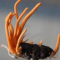 Tác dụng của đông trùng hạ thảo qua thực tế sử dụng