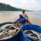 Thủy điện Hòa Bình xả lũ, hàng chục tấn cá tầm chết sát ngày thu hoạch